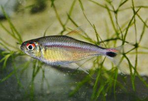 Characidae sp. ジャスティンテトラ=赤目赤線テトラ