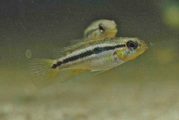 成魚 テフェ産 雌