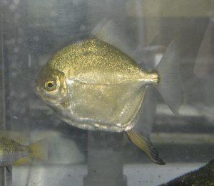 Myleus sp. クリムゾンレッドミレウス