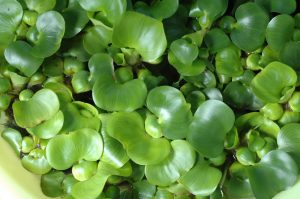 <i>Eichhornia crassipes </i> ホテイアオイ(水玉)