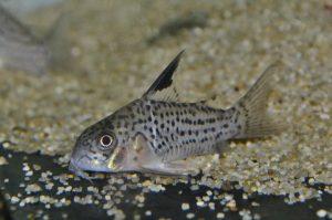 コリドラス sp. ブラックトップヴァウペス