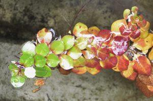 <i>Ludwigia helminthorrhiza</i> 新称:フローティングルドウィジア