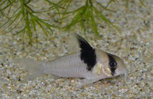 コリドラス sp.  ショートノーヴァージニアエ