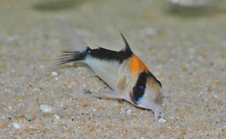 尾鰭に黒が入る個体