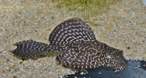 <i>Pterygoplichthys joselimaianus</i>  (Weber, 1991) オレンジセイルフィンプレコ
