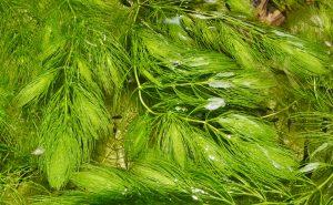 Ceratophyllum demersum マツモ