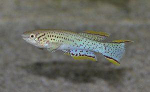 Fundulopanchax gardneri  (Boulenger, 1911) フンドゥロパンチャックス・ガードネリ