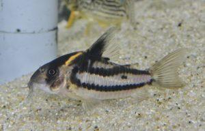 コリドラス sp. スーパーパラレルス