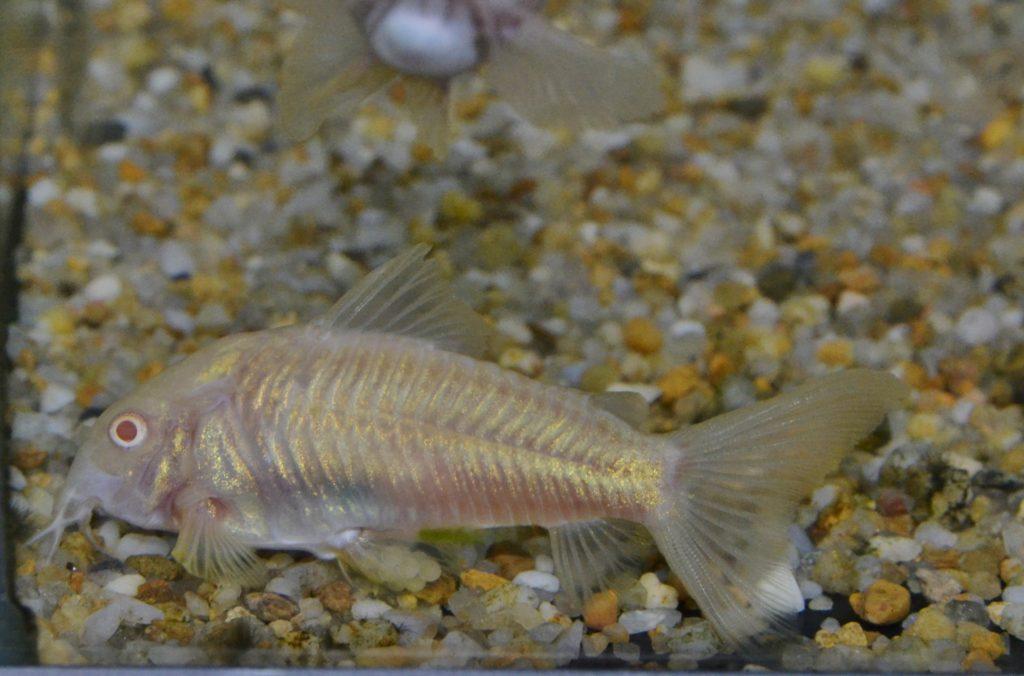 閉じられた腹鰭の中に4~6個の卵が産み落とされ、体内を通過した精子と受精を果たす。