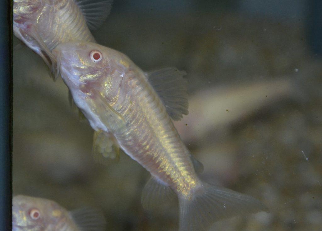少し経って雌は泳ぎ出し、卵を付ける場所探すため泳ぎ回る。