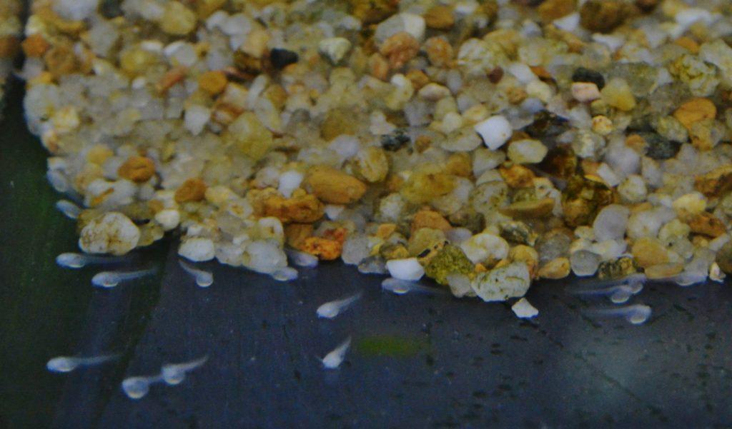 産卵後2~3日後に孵化した仔魚。オタマジャクシ状で目は開いていない。