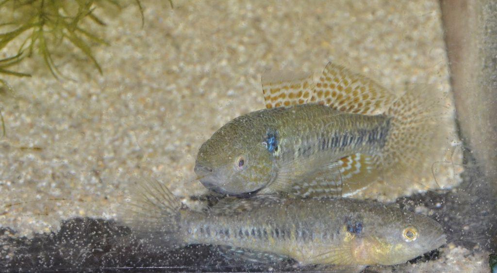 産卵する雌を見守る雄