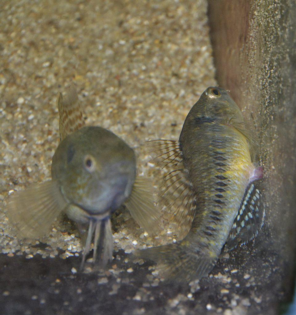産卵中の雌と守る雄