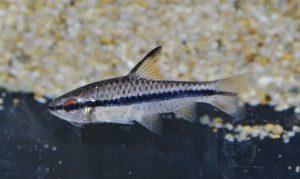 Enteromius sp.  バルブス sp. ホロタエニア