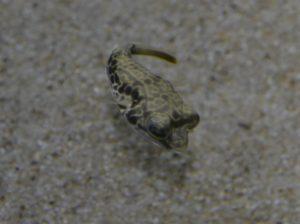 <i>Tetraodon mbu</i>  Boulenger, 1899 テトラオドン・ムブ