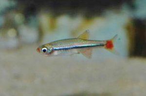 Tanichthys micagemmae  Freyhof & Herder, 2001 ベトナムアカヒレ、ミカゲマエ