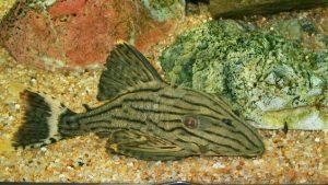 Panaque sp. グリーンロイヤルプレコ