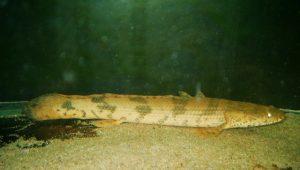 <i>Polypterus endlicherii</i> Heckel, 1847 ポリプテルス・エンドリケリー