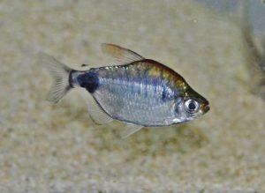 <i>Bathyaethiops caudomaculatus</i> (Pellegrin, 1925) アフリカンムーンテトラ