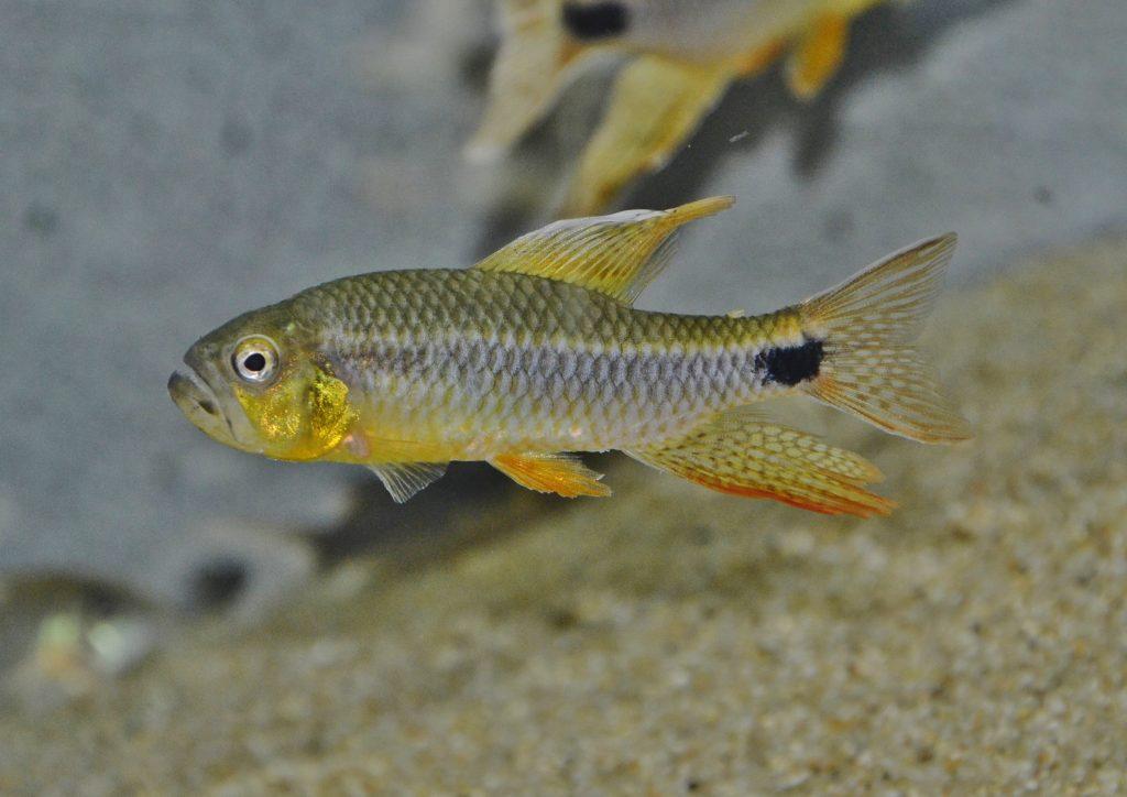 雄 成魚:長く大きな尻鰭が特徴
