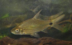 <i>Cyclocheilichthys apogon</i> (Valenciennes, 1842) シクロケイリクティス・アポゴン