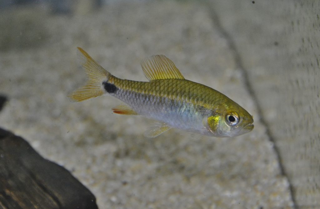 雌 成魚:鰭の模様が薄く、尻鰭は伸張しない。入荷の個体数は圧倒的に少ない。
