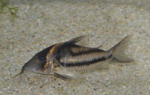 コリドラス sp. ビファスキアトゥス