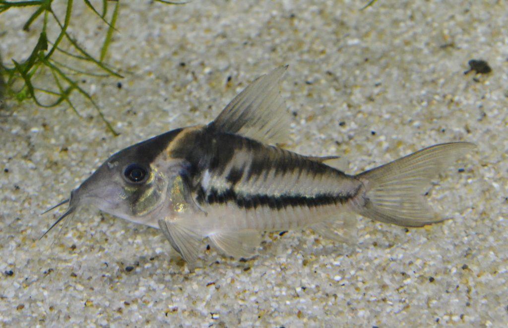 C. sp. ビファスキアトゥス。色々な斑紋。