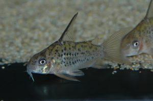コリドラス sp. オガワエ