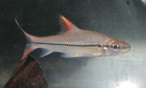 <i>Cyclocheilichthys janthochir</i> (Bleeker, 1854) オレンジフィンロケットシャークバルブ