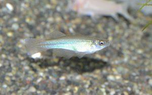 <i>Procatopus similis</i> Ahl, 1927 プロカトプス・シミリス