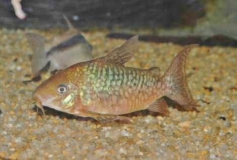 雄 成魚 XLサイズ