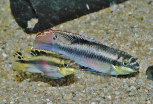 <i>Pelvicachromis pulcher</i> (Boulenger, 1901) ペルヴィカクロミス・プルケル