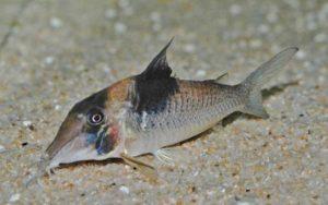 <i>Corydoras</i> sp. コリドラス sp. スーパービコロール