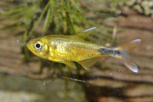 Characidae sp. トカンチンスゴールデンテトラ