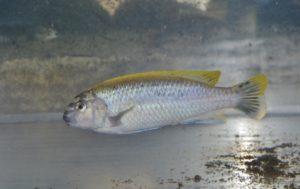 <i>Melanochromis auratus</i> (Boulenger, 1897) イエローストライプシクリッド