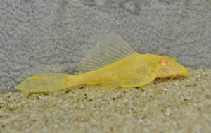 <i>Pterygoplichthys gibbiceps</i>  (Kner, 1854) セイルフィンプレコ アルビノ