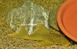<i>Baryancistrus demantoides</i> Werneke, Sabaj, Pérez, Lujan & Armbruster, 2005 レモンフィンペコルティア