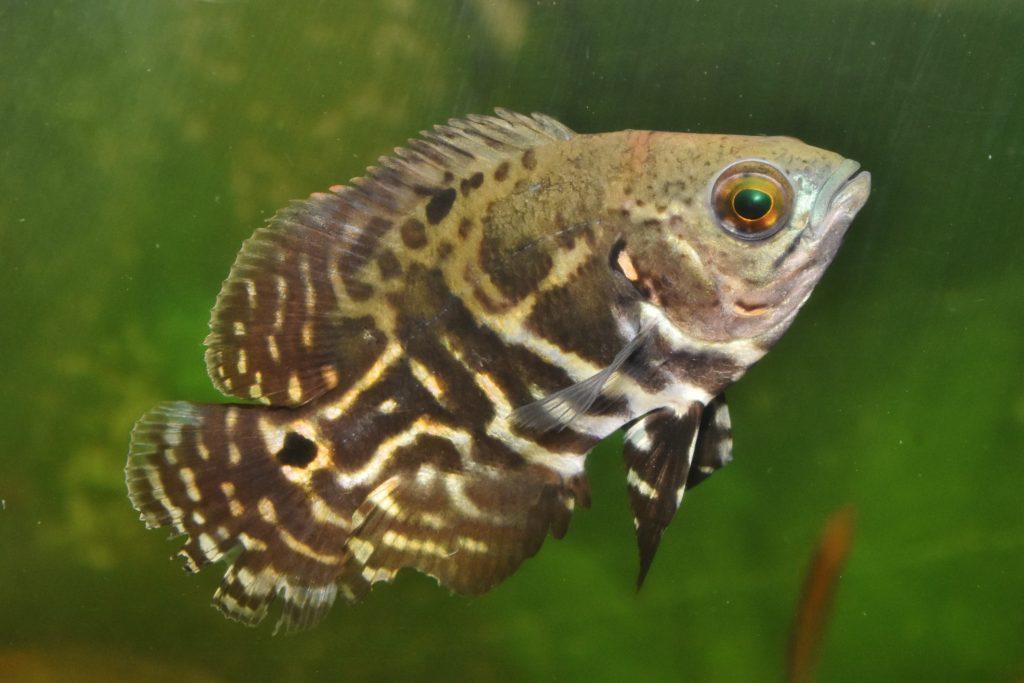 コロンビア産:若魚
