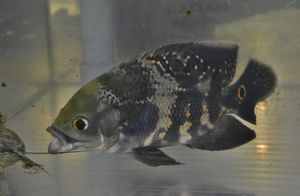 ペルー産:成魚