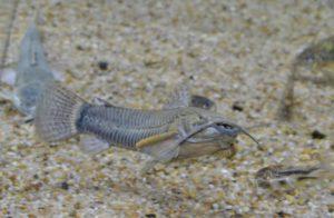 <i>Callichthys callichthys</i> (Linnaeus, 1758) カリクティス・カリクティス