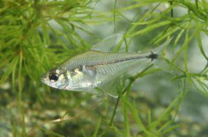 <i>Phenacogaster</i> sp.  ペナコガステル sp.