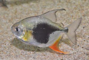 <i>Myleus</i> sp. ブラックベリーレッドフックミレウス