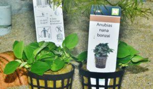 <i>Anubias barteri</i> var. <i>nana</i>  アヌビアス・ナナ ボンサイ
