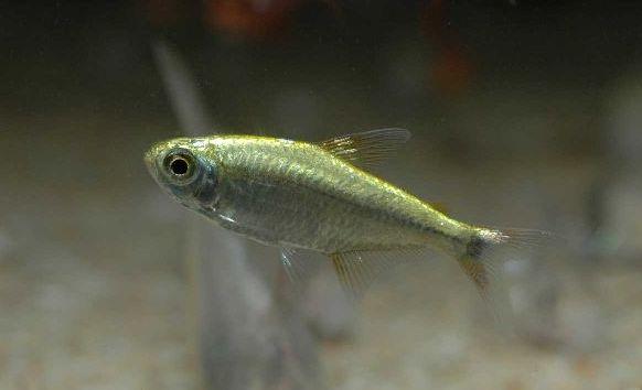 Characidae sp.