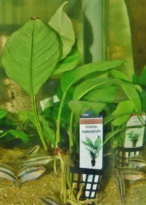 <i>Anubias heterophylla</i> アヌビアス・ヘテロフィラ