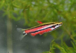 <i>Nannostomus rubrocaudatus</i> Zarske, 2009 ブラッドレッドペンシル