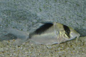 コリドラス sp. ネブリナエ