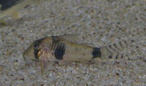 <i>Corydoras</i>sp. コリドラス sp. ベントノーズアッシャー